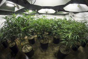 California new marijuana laws effect growing, transportation, selling and possession